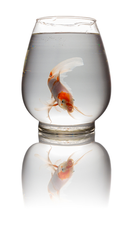orange and white Koi carp looking at camera in a glass tank on white with clipping path Stock Photo