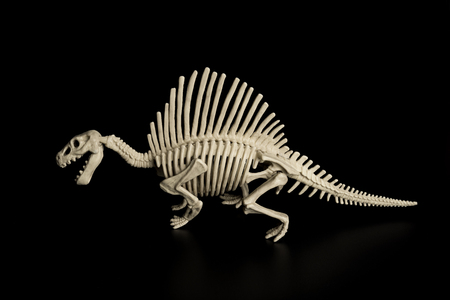 side view spinosaurus skeleton on a black background Stock Photo