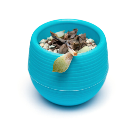 pot of faded succulent plant on white background Stock Photo