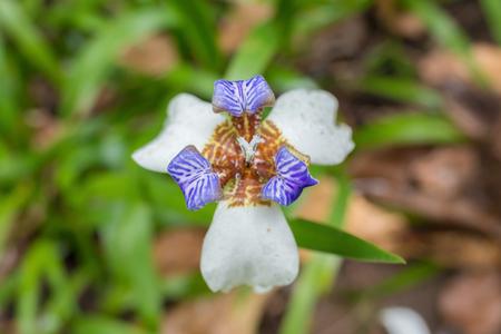Iris germanica close up