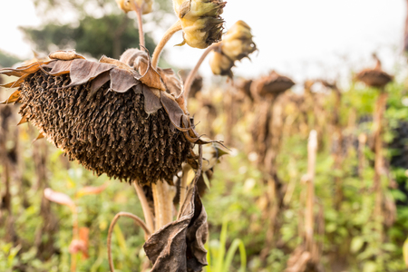 withered sunflower close up