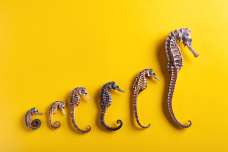 small to giant sizes dried seahorses line up on yellow background