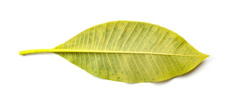 back of a faded leaf on a white background Banco de Imagens