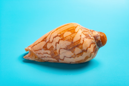 conch shell on a blue background Imagens