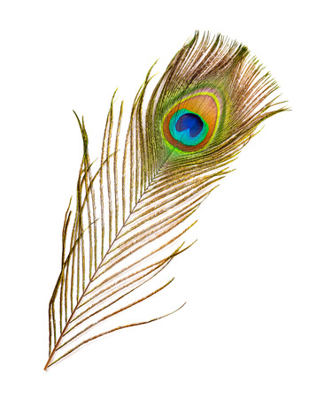colorful feathered tail of a male peacock on white background
