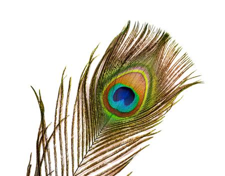 Primer plano de una pluma de pavo real macho sobre fondo blanco.