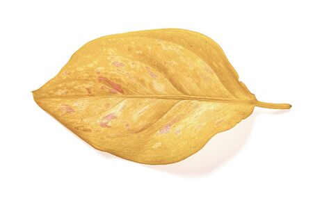 faded leaf on a white background