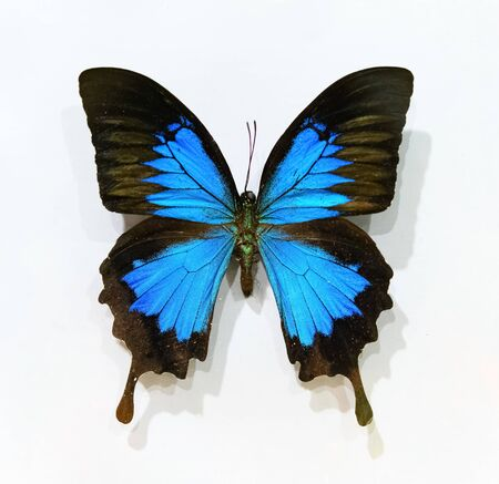 beautiful blue and black colors butterfly specimen