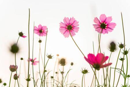 Low Angle View von schönen Gänseblümchen oder Cosmos bipinnata Cav