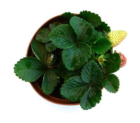 top view pot of strawberry plant close up on white background