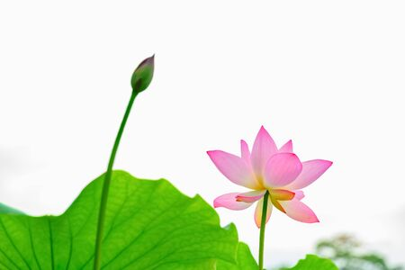 lotus flower in a pond horizontal composition