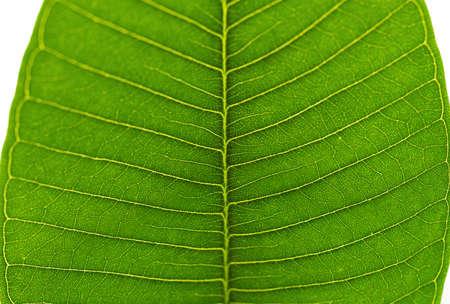fresh Plumeria rubra Linn leaf close up