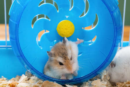 cage with a small pet hamster cleaning his chest in the wheel