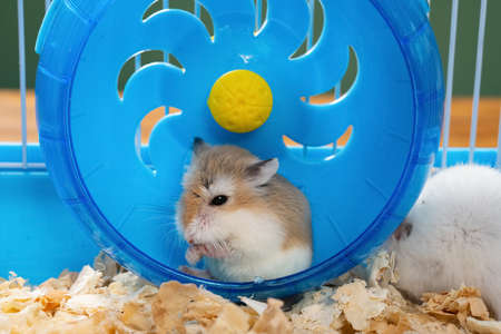 cage with a small pet hamster cleaning his hands in the wheel