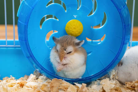 small pet hamster cleaning his hands in the wheel