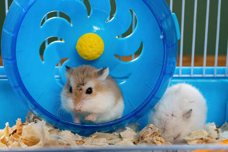 cage with two small hamsters