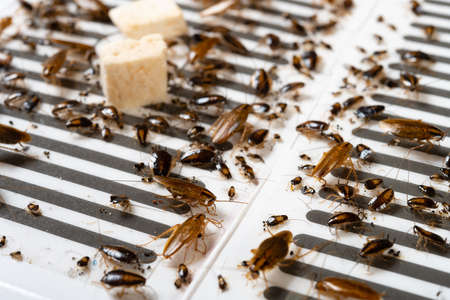 angle view traps with lots of cockroaches struggling