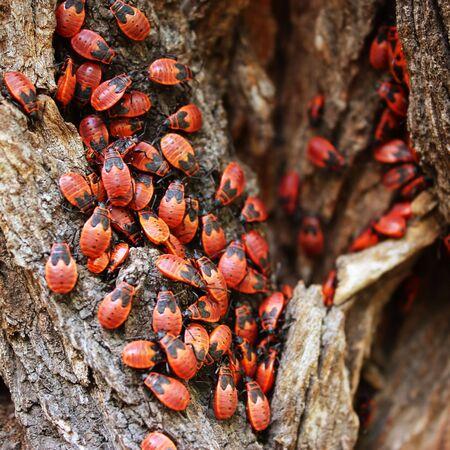A close up of milkweed bugs(Lygaeus kalmii) on a tree trunk. Stock Photo