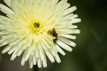 A close up of a bee on a light yellow flower. Stock Photo