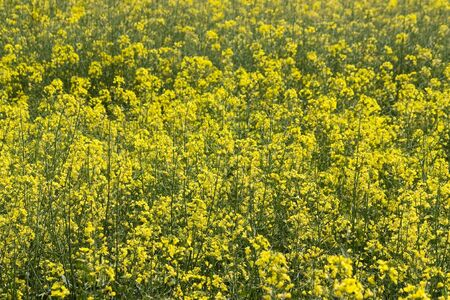 Close up of a field of wild mustard flowers. Stock Photo