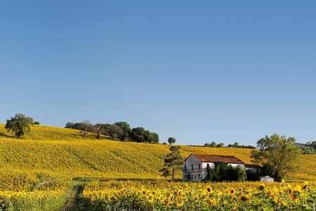 Old abandoned farmhouse surrounded by a sunflower field. Stock Photo