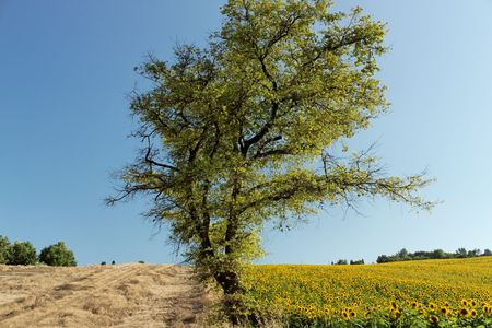A tree dividing a wheat and sunflower field.