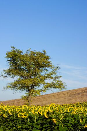 A tree between a sunflower and wheat field.
