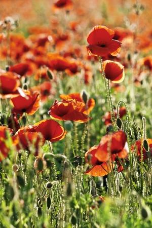 A poppy flower field.