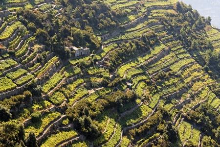 Vineyards, Cinque terre, Italy.