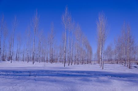 brich: White birch forest in winter