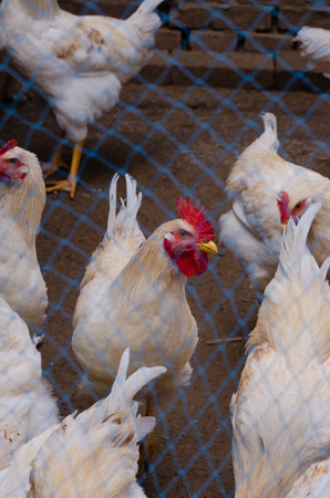 fertility emblem: White cock in poultry farm. Photo taken on October 2, 2014 in China.