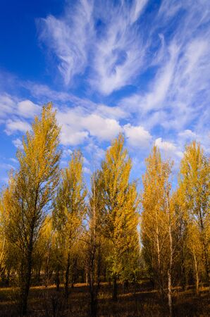 aspen leaf: populus trees with golden colorful leafs in autumn.