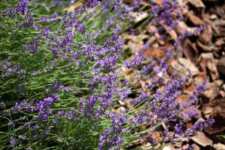 outdoor photo: Lavender flowers closeup outdoor photo Stock Photo
