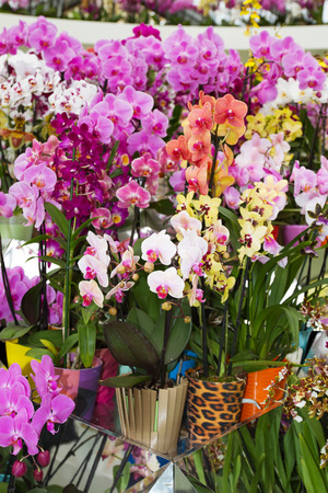 flower show: Colorful orchids in flowerpots on flower show