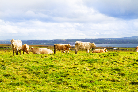 Beautiful scenic landscape with cows. Cows grazing on a green field