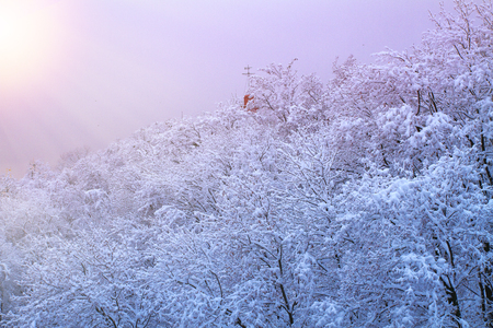 Winter background with snowy trees. Beautiful winter landscape with  trees covered with snow  in park, forest and sun