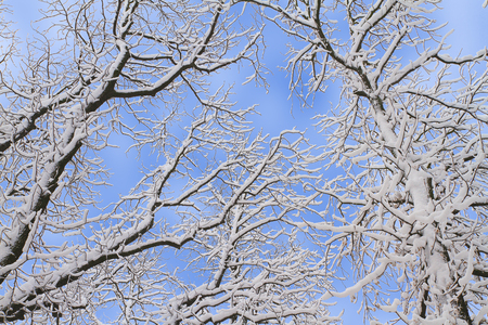 Winter background of snowy tree branches against blue sky. Trees covered with snow Stockfoto