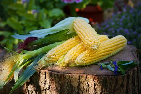 Corn on the cob in garden. Image of food vegetable product, sweet maize corn
