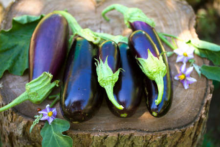 Eggplants or aubergines. Summer vegetables in garden. View from above, top view