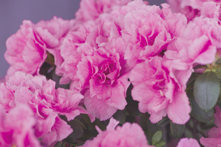 exbury: Pink flowers Stock Photo