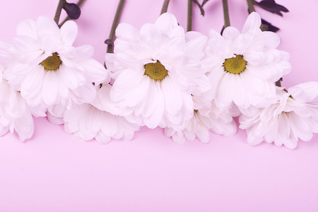 Close-up of daisies on pink background. Flowers isolated. Stock Photo