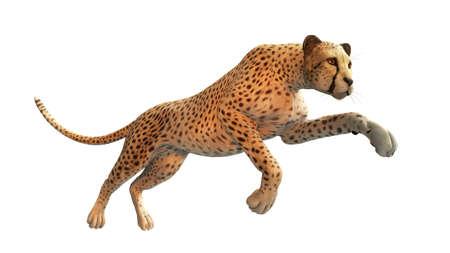 Cheetah hunting, animal isolated on white background