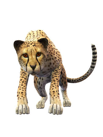 Cheetah approaching, animal isolated on white background, front view