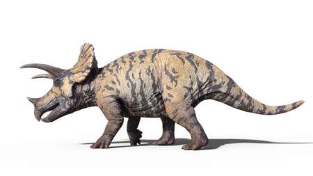 Triceratops, dinosaur reptile walking, prehistoric Jurassic animal isolated on white background, 3D illustration