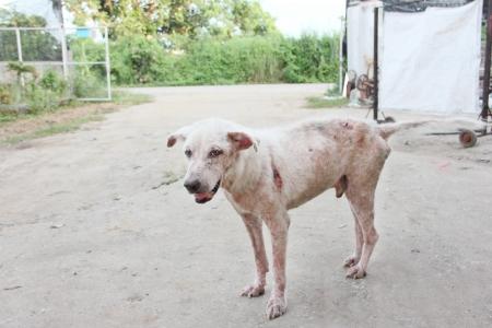 lepra: Perro sarna piel blanca sentir dolor al aire libre
