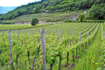 chardonnay grape vines in the spring campaign in the Trentino Altoadige