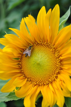sunflower yellow flower with delicate petals in summer photo