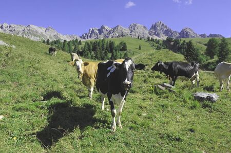 cows in green fields in the mountains of the Dolomites photo