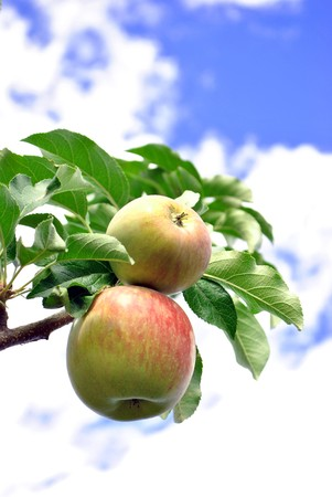 green apples on the branch with the sky background photo
