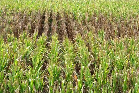 Corn field in autumn Stock Photo - 7789348